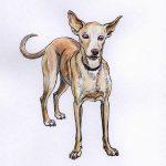 Bella - Chihuahua mix