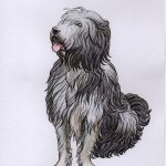 Buddy - Bearded collie