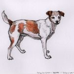 Twixy -Jack Russell