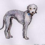 Watson - Bedlington Terrier